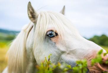 Cavallo bianco letale