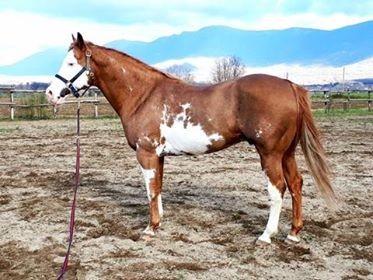 Stallone Paint Horse Overo