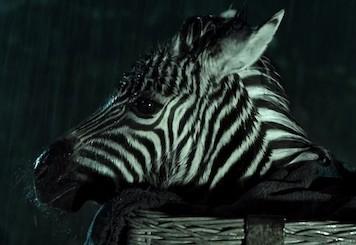 Striscia una zebra alla riscossa
