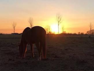 Cavallo che bruca erba al tramonto