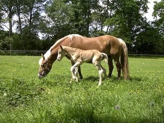 Cavalli al pascolo, fattrice e puledro