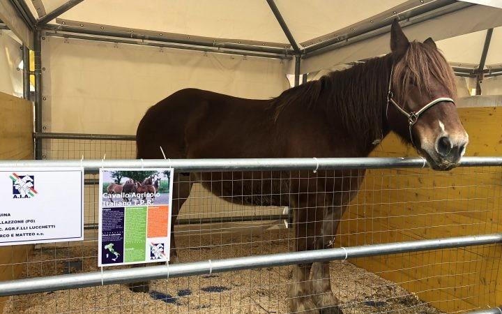Cavallo TPR di F.lli Lucchetti