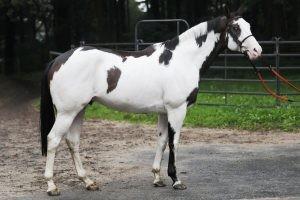 Paint Horse Overo Frame