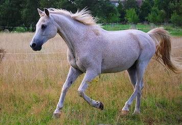 Cavallo arabo al galoppo nel prato