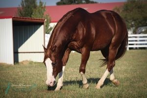 Stallone Paint Horse APHA Solid