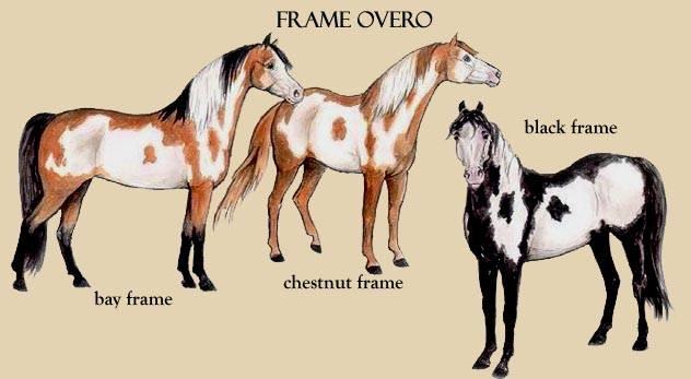 Illustrazione Paint Horse Overo Frame