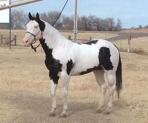 Paint Horse Tovero