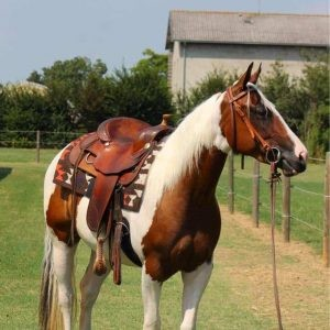 Cavallo Paint Tobiano sellato